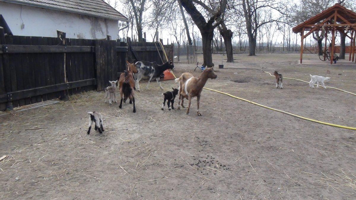 Az állatsimogatóban öt kecskegida született